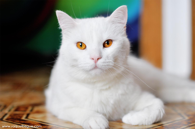 lucaswhitecat