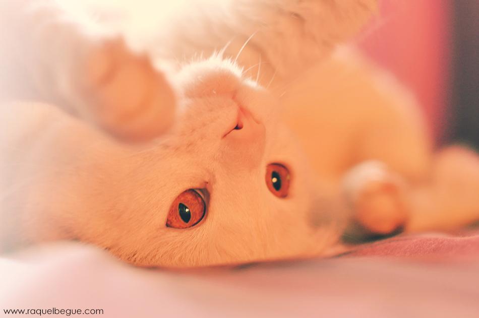 gato-turco