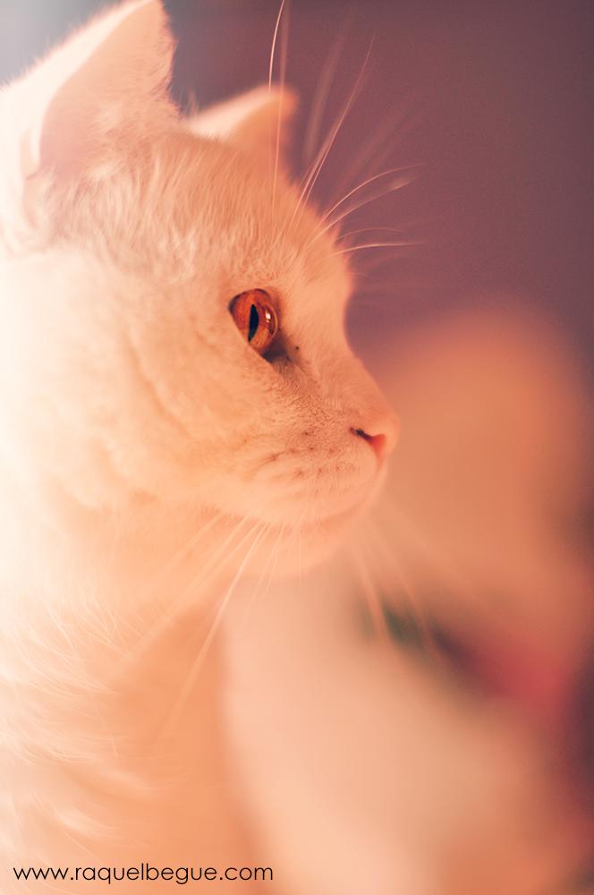 lucas-white-cat