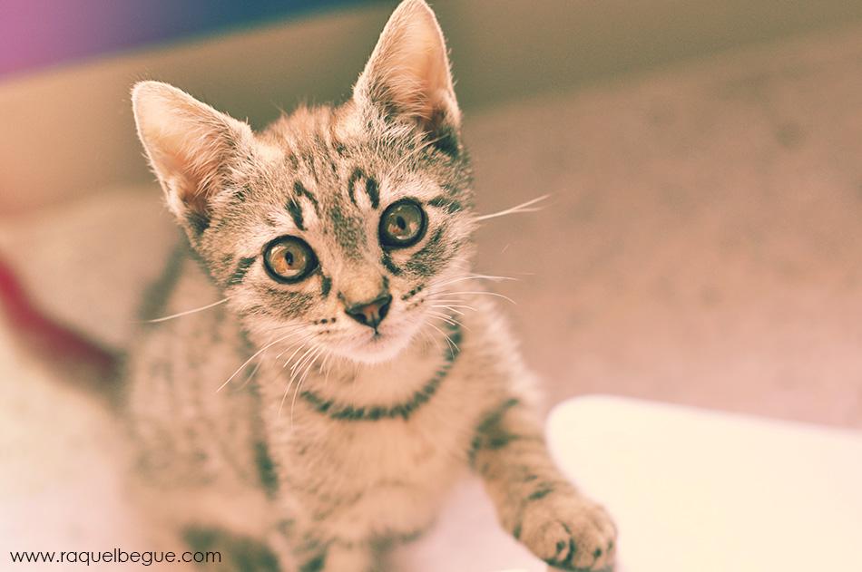 gato-veu-animal